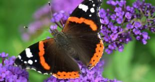Admiral 310x165 - Pestizide und Straßenbau bedrohen Schmetterlinge
