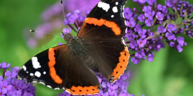 Admiral 660x330 - Pestizide und Straßenbau bedrohen Schmetterlinge