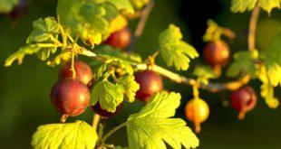 Stachelbeere 310x165 - Das Ende der Garten Saison – der Herbst