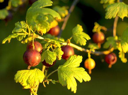 Stachelbeere 445x330 - Das Ende der Garten Saison – der Herbst