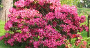 Rhododendron 310x165 - Der Rhododendron wertet jeden Garten auf