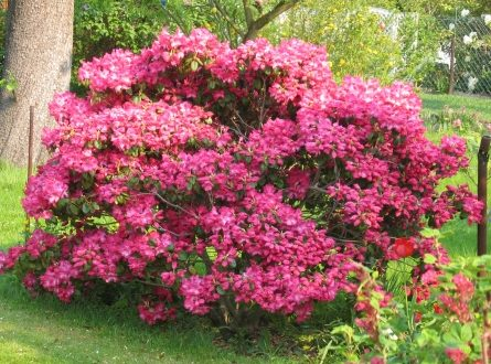 Rhododendron 445x330 - Der Rhododendron wertet jeden Garten auf