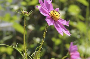 Blattlaeuse 310x205 - Was tun bei Ungeziefer im Garten?