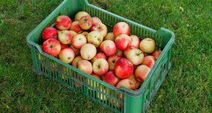 Apfelernte 310x165 - Gartenarbeit - rechtzeitig an den Herbst denken