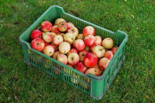 Apfelernte 310x205 - Gartenarbeit - rechtzeitig an den Herbst denken