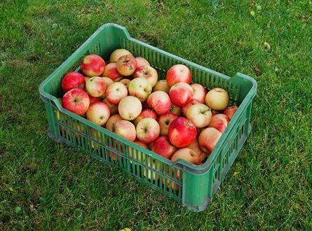 Apfelernte 445x330 - Gartenarbeit - rechtzeitig an den Herbst denken