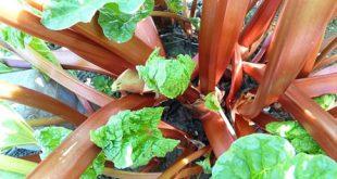 Rhabarber 310x165 - Der Gemüsegarten im September