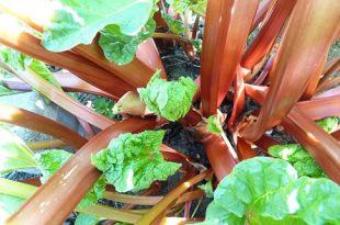 Rhabarber 310x205 - Der Gemüsegarten im September