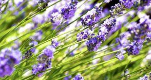 Lavendel 310x165 - Vorsicht Nachbar - das gilt auch bei Gartenpflanzen