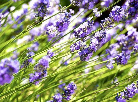 Lavendel 445x330 - Vorsicht Nachbar - das gilt auch bei Gartenpflanzen