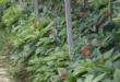 Ginseng 110x75 - Ginseng – der König der Heilpflanzen