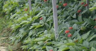 Ginseng 310x165 - Ginseng – der König der Heilpflanzen