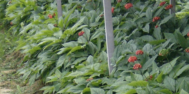 Ginseng 660x330 - Ginseng – der König der Heilpflanzen