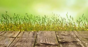 Rasensamen 310x165 - Rasensamen kaufen – welche Rasensorte ist die richtige?