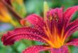 Lilie 110x75 - Lilien - bezaubernde Blüten und intensiver Duft
