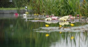 Schwimmteich 310x165 - Pool, Schwimmteich oder Biopool – Baden für Genießer