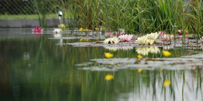Schwimmteich 660x330 - Pool, Schwimmteich oder Biopool – Baden für Genießer