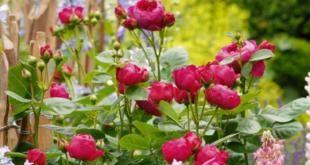 Rosengarten 310x165 - Insektenparadies mit Rosen gestalten