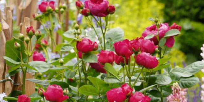 Insektenparadies mit Rosen gestalten