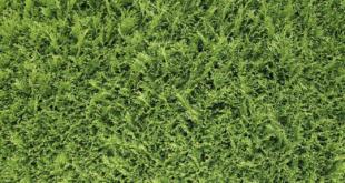 Thuja 310x165 - Thuja - lebendiger Sichtschutz mit Pfiff