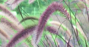 Ziergras 310x165 - Ziergräser - die heimlichen Stars im Garten