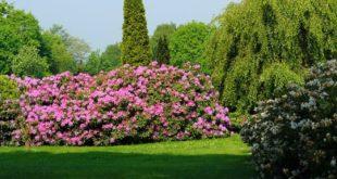 Rhododendron 310x165 - Rhododendron - pflanzen, schneiden, pflegen